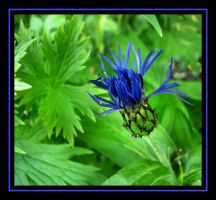 Cornflower Bud by dove-51