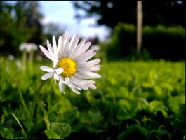 white flower by kas666