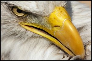 Bald Eagles Face by cycoze