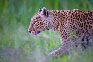 leopard at night by 00Tiger00