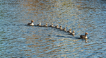 8 Little Ducklings by IdunaHayaPhotography