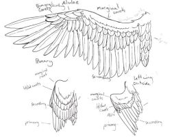 wing anatomy by Niffler13