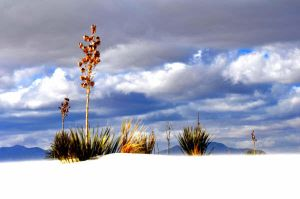 Plant of the White Sands by larka1121
