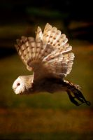 Barn owl in flight by jemapellenicoletta