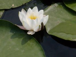 White water lilly by LizVici