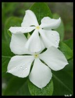 Dew on a White Flower by GeneveveX