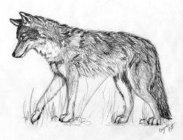 Coyote by UndeterminedBreed