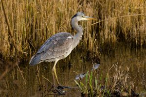 Ardea Cinerea III by blizzard2006