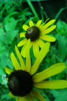 Black Eyed Susans by Fear-the-cute