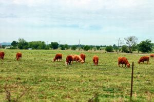 Brown Cows by ChicaDelMar