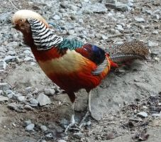 Chinese Pheasant 4 by fuguestock