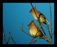 Sunning Waxwings by swashbuckler