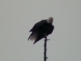 My first picture of a Bald Eagle. by Flutterflyraptor
