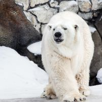 Male Polar Bear I by OrangeRoom