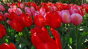Tulips #11 by KRHPhotography