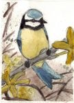 Blue Titmouse by gaia14