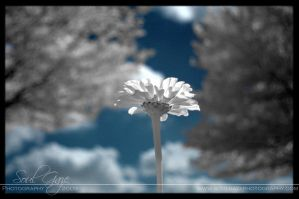 Infrared Daisy by GothicAmethyst