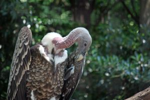 Vulture by magicia