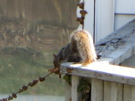 Fluffeh Squirrelly Tail by nicktanski