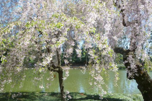 Cherry Trees and Water by PinkFloydPlus
