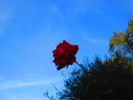 The rose that rose throughout the sky by eurybiades