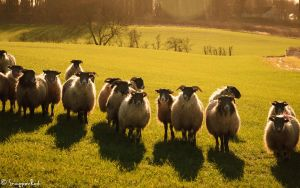 Baa, Baa, Black Sheep have you any wool? by SnapperRod