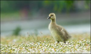 Gosling Marching Through Daisies. by andy-j-s