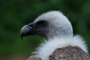 Vulture 1 by Marina17