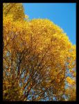 Trees of Gold by adriftphotography