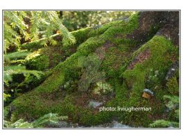 010GH lichen by liviugherman