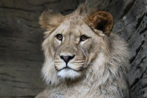 Barbary lion 1 by Tigerlover4