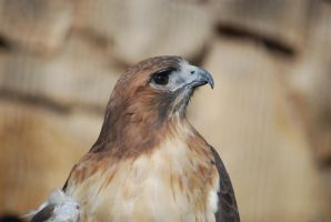 Red-Tailed Hawk by ManitouWolf