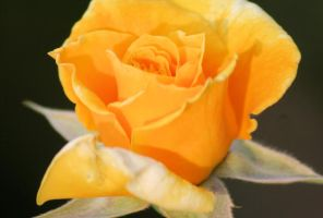 Yellow Rose II by fatherofanartist