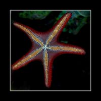 Mr Starfish by Althytrion