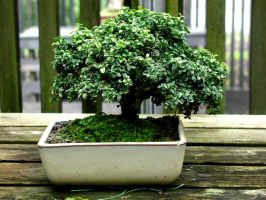 bonsai by astarisfading