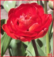 Red Double Tulip by FireLilyAMG