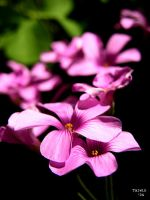 Depth of pink. by talwin