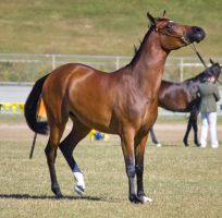 STOCK - Gold Coast Show 081 by fillyrox