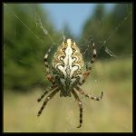 Oak spider I by alalala
