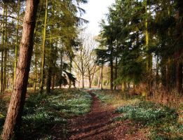Snowdrop woods 7 by melrissbrook