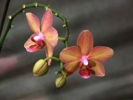 Orchid flowers by Adagem