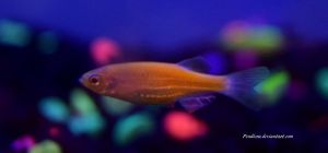 Stock - Orange Glofish (Zebra Danio) 2 by Pendlera
