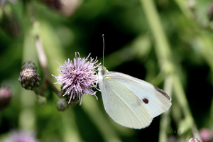 Cabbage Butterfly 2 by Gerryanimator