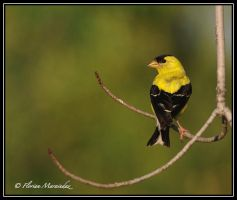Goldfinch by Ptimac