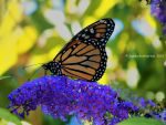 Monarch And Butterfly Bush by jim88bro