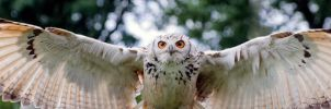Indian Eagle-Owl by hoodoo