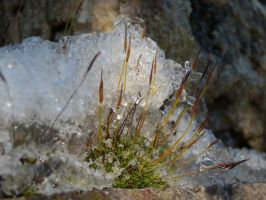 Moss under ice by TinyWild