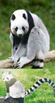 Panda Lemur by BlackHatGuy