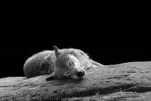 Sleepy Wolf by linneaphoto
