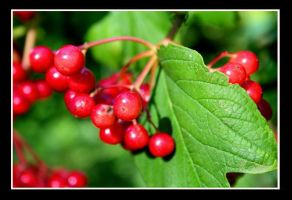 Berries of Summer by Littion